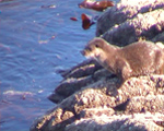Otter on the coast in front of the Old Inn